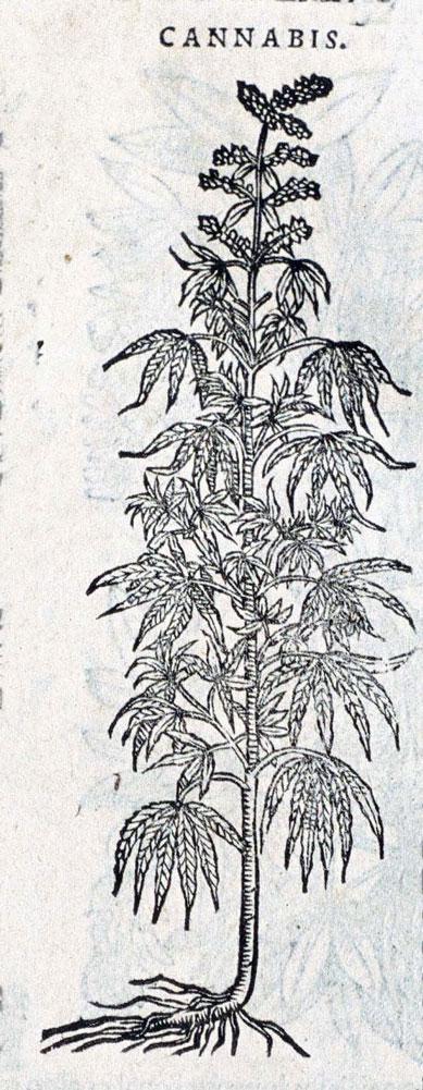 Cannabis Sativa L Ancient Greek Kannabis Englishhemp French Chanvre German Hanfkraut