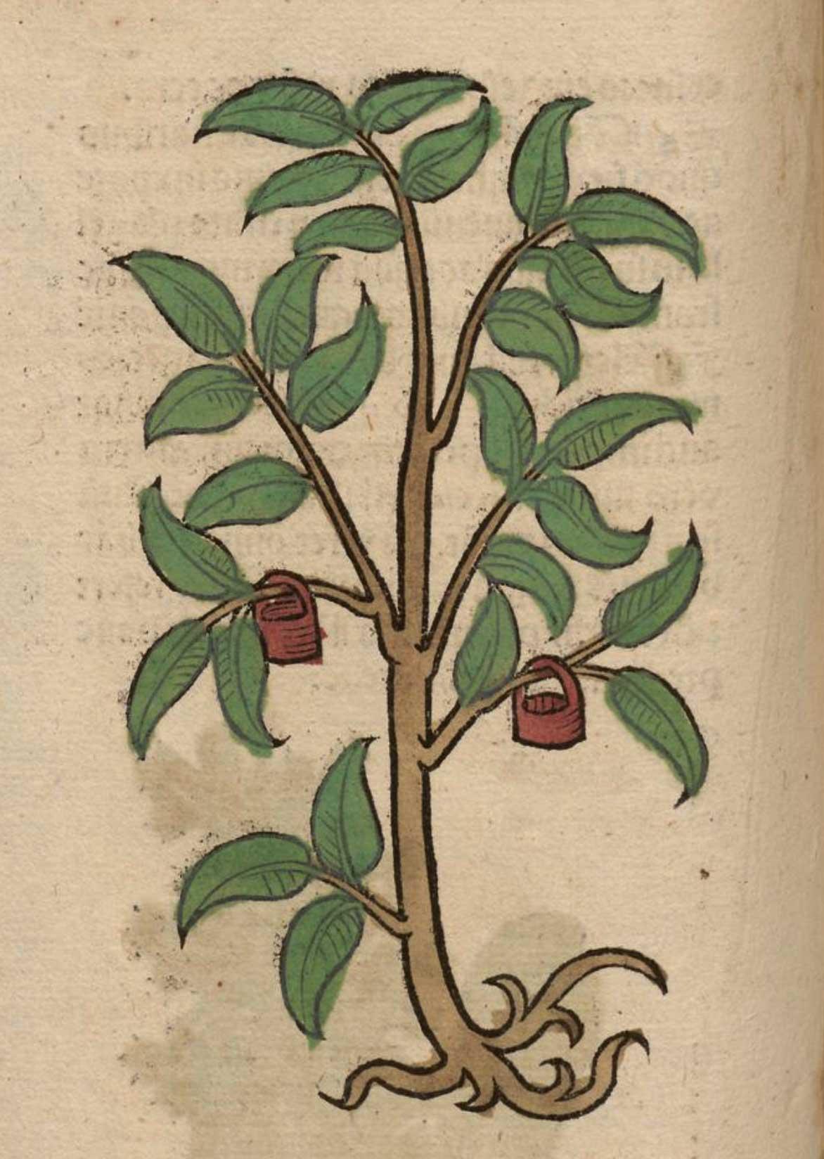 plantes tinctoriales médiévales